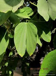 medicinal plants bauhinia purpurea devakanchana mandarai