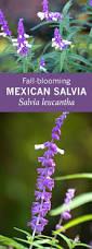 mexican salvia fall blooming deer u0026 drought resistant