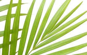 palms for palm sunday the fronds and foliage of palm sunday