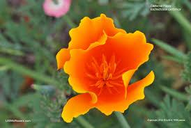 California Poppy Us Wildflower California Poppy Eschscholzia Californica