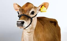 have a cow man modern farmer