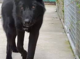 belgian shepherd for sale ireland saarloos wolfdog dogs and puppies for sale in the uk pets4homes