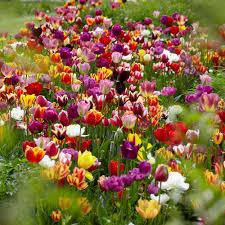 van zyverden tulips bulbs economy medley of varieties set of 100