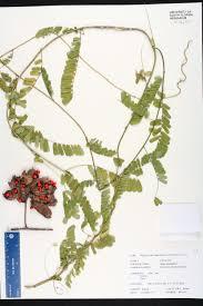 Usf Map Abrus Precatorius Species Page Isb Atlas Of Florida Plants