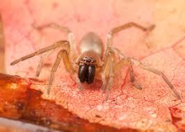Male Spider Anatomy Spider Diversity Spiderbytes Page 2