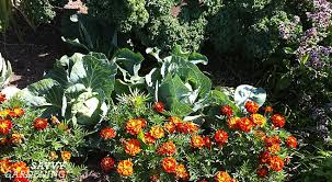 using flowers as natural pest control in the garden