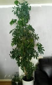 tall umbrella houseplant in the living room umbrella houseplants