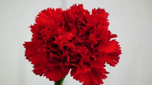 Red Carnations Red Carnation The National Flower Of Spain