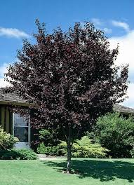 newport purple leaf plum monrovia newport purple leaf plum