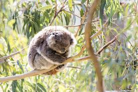 Koala Meme Generator - sad koala meme generator imgflip