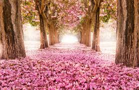 cherry blossom wallpapers collections of hdq up to 4k