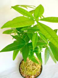 kokedama moss bonsai plant string garden indoor houseplant a