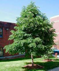 20 tough trees for midwest lawns small ornamental trees gardens