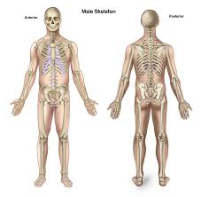 Human Anatomy Male The Skeletal System Human Anatomy Human Anatomy Charts
