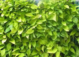 Best Plants For Vertical Garden - buy golden money vertical plant pack of 3 online at best prices