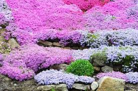 phlox flower great companion plants for your creeping phlox