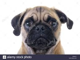 closeup of pug with tear in right eye