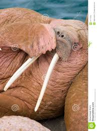 male walrus covering mouth with flipper alaska royalty free