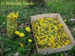 cuisiner le pissenlit vin de pissenlit ou autres fleurs floradiane jardin cuisine