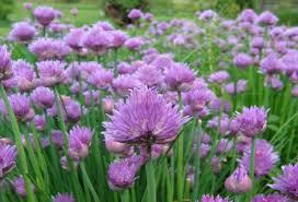 erba cipollina in vaso come coltivare l erba cipollina in vaso e in giardino nanopress