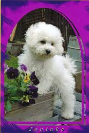 bichon frise cute http dogtrainclub files wordpress com 2010 08 bichon frise