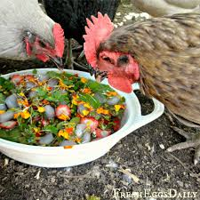 an herb garden for chickens bonnie plants