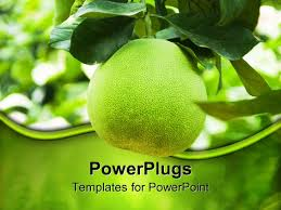 powerpoint template green grapefruit growing on branch nutrition