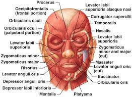 Human Body Muscles Images Best 25 Muscles Ideas On Pinterest Anatomy Head