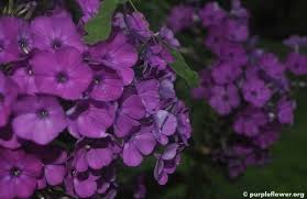 different types of purple purple lilac flower the secret of its beauty purpleflower org