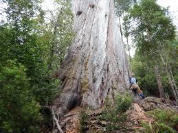 tall and big tree news victoria u0027s giant trees