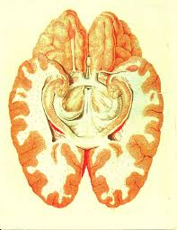 Anterior Association Area Limbic System Wikipedia