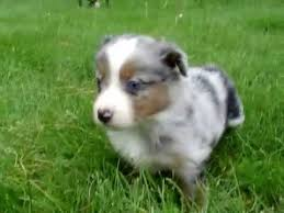 australian shepherd 14 weeks miniature australian shepherd blue eyed blue merle female 5 weeks