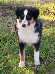 5 month old mini australian shepherd miniature australian shepherd miniature australian shepherd for