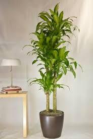 best low light indoor trees corn plant potted plants pinterest corn plant and plants