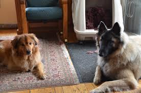 belgian sheepdog gifts roberson belgians
