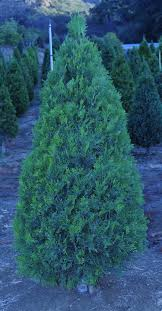 incense cedar tree is a large tree with a broad conic crown of