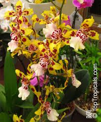 oncidium orchid oncidium sp oncidium orchid toptropicals