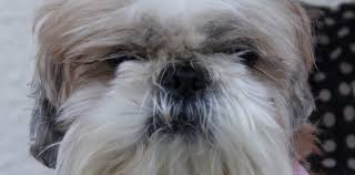 boxer dog upset stomach loulou the 10 year old shih tzu had an upset stomach pete the vet
