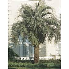 shop 14 gallon pindo palm l6017 at lowes com