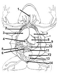 frog anatomy worksheet free worksheets library download and