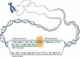 genetic transcription u0026 translation lecture materials from the