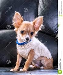 chihuahua puppy wearing white sweater stock photo image