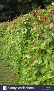 climbing runner beans plants growing in supported rows in an