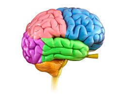 Thalamus Part Of The Brain Brain Anatomy The 4 Lobes Structures And Functions