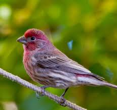 New Hampshire birds images Purple finch state symbols usa jpg