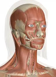 Interactive Muscle Anatomy Muscles Of The Head And Neck Anatomy Pictures And Information