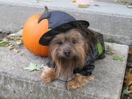 Yorkie Costumes Halloween 104 Hallowoof Images Pet Costumes Costume