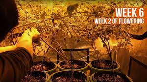complete hydro grow tent kit system week 6 grow journal