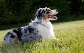 australian shepherd teeth australian shepherd dog breed information continental kennel club