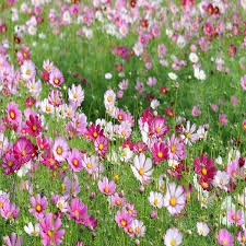favorable 50pcs cosmos seeds potted cosmos flower garden